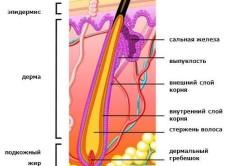 Строение волоса и расположение сальных желез